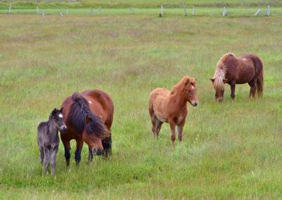 Westfiorde Pferde