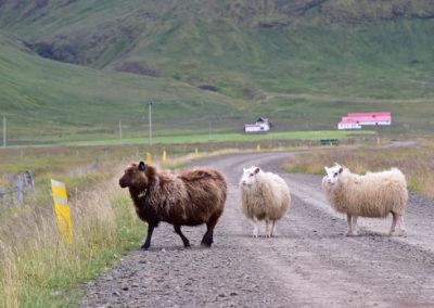 Westfiorde Schafe