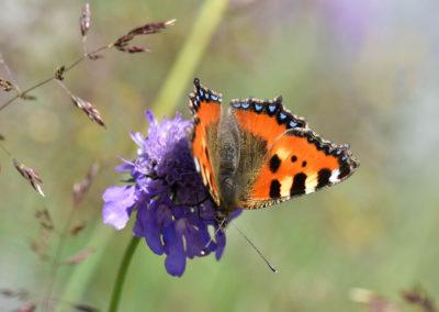 SchmetterlingKleinerFuchs-1707-03