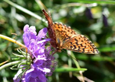 SchmetterlingPerlmutterfalter-1707-01