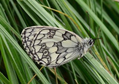 SchmetterlingWeissSchwarz-1307-01